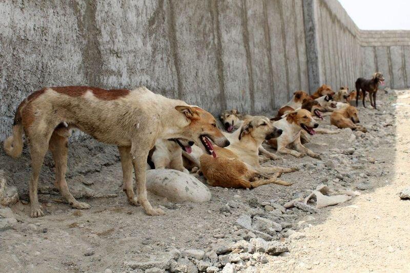 روش وزارت بهداشت برای کنترل جمعیت سگ های ولگرد ، غذا دادن به سگ ها اشتباه است؟