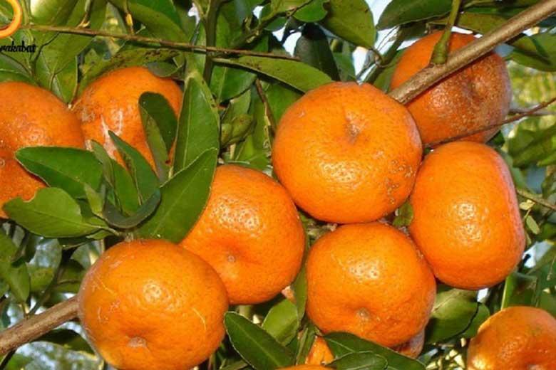 فواید نارنگی برای دیابتی&zwnj ها