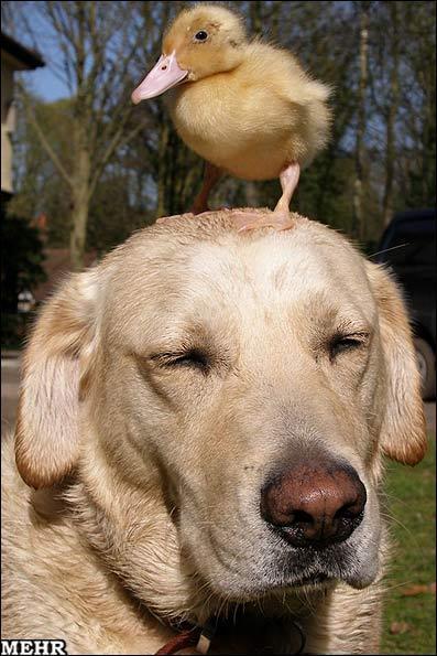 مراقبت یک سگ از جوجه غاز یتیم!، عکس
